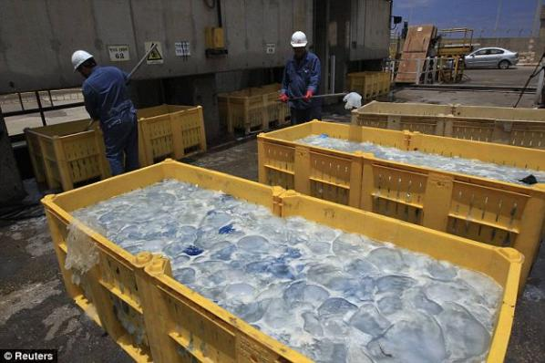Disruption: Containers filled with jellyfish at Orot Rabin coal-fired power station in Israel.