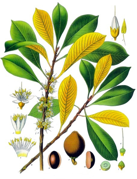image - Palaquium gutta, or gutta-percha – from Franz Eugen Köhler, Köhler's Medizinal-Pflanzen, January 1, 1897 http://en.wikipedia.org/wiki/Gutta-percha